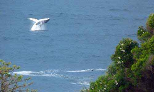 Whale jumping out of the ocean on the coastline on the Sapphire Coast.