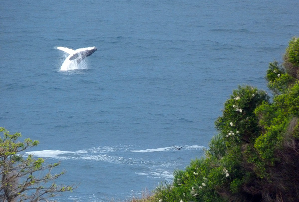 Humpback whale jumping out of the water at Merimbula on the Sapphire Coast NSW. Photo by Donald Hobern - Flickr.